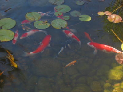 Koi fish pond