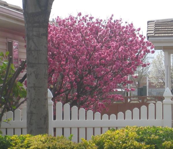 flowering landscape trees