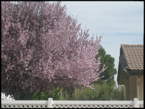 flowering plum tree in bloom