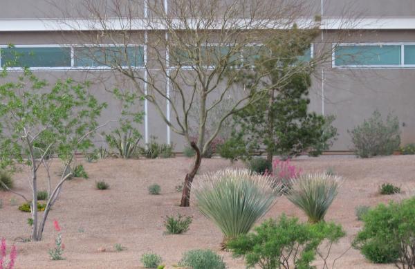 palo-verde-tree