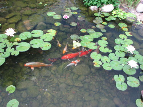 Build A Fish Pond
