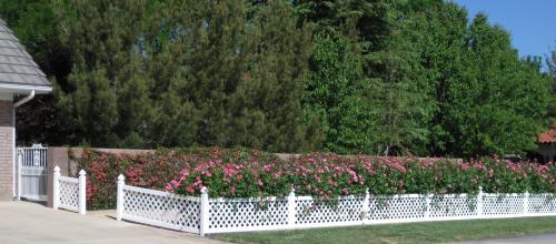 pink rose bush hedge