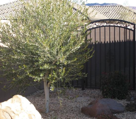 wilson-olive-tree.jpg
