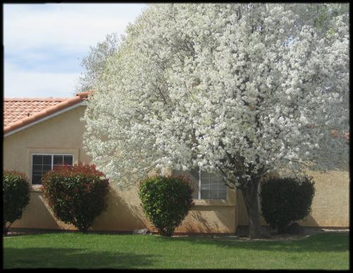 Bradford Pear in Springtime