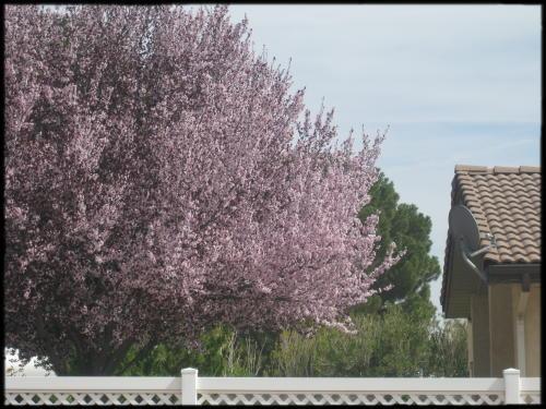 flowering plum tree in bloom
