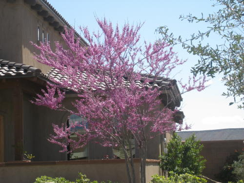flowering-red-bud-tree
