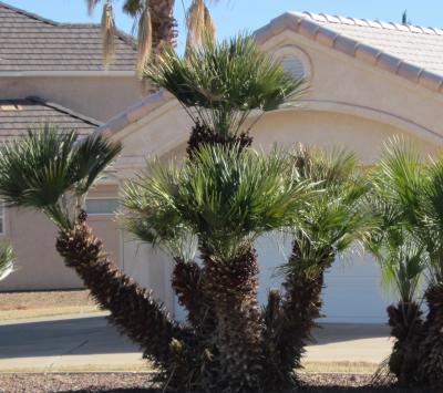 mediterranean-palm-tree-multi.jpg