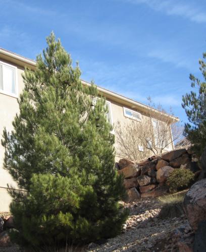 mondel pine tree